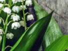 Lily of the Valley is the traditional flower of May