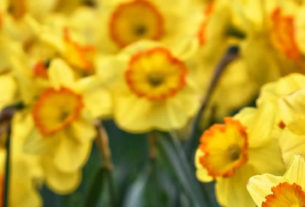 Daffodils are the traditional flowers of March
